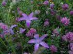 cvijece u Podgori