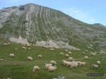 ovce na prutasu