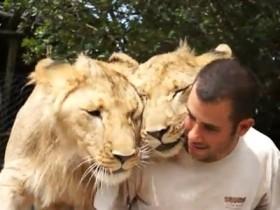 lavovi Noama i Toma