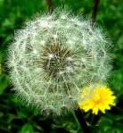 maslacak cvijet Maslačak-Tarxacum officinale