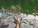 drvo Zminje jezero Durmitor