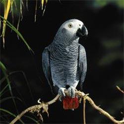 papagaj imitator