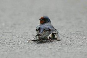 ranjena ptica 1