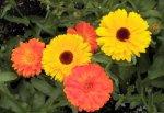 nevenovo-ulje-nevenov cvijet