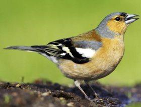 pjevanje ptica