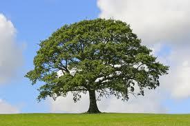 carobno drvo