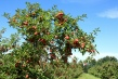 rodna jabuka