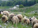 ovce se čuvaju same