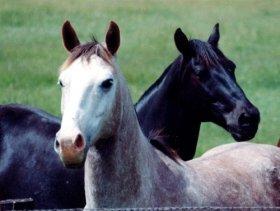 crno bijeli konji