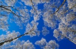zaledjena breza
